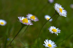 Detail of beautiful white daisy flowers royalty free stock images