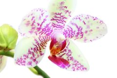 Cymbidium flower Stock Photography