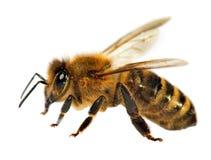 Detail of bee or honeybee , Apis Mellifera Stock Photos