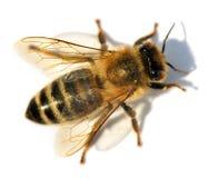 Detail of bee or honeybee , Apis Mellifera Stock Images