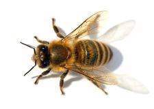 Detail of bee or honeybee , Apis Mellifera Stock Image