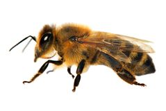Detail of bee or honeybee in Latin Apis Mellifera. European or western honey bee isolated on the white background Stock Images