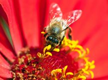 Bee or honeybee in Latin Apis Mellifera. Detail of bee or honeybee in Latin Apis Mellifera, european or western honey bee pollinated red and yellow flower Royalty Free Stock Photography