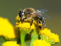 Detail of bee or honeybee in Latin Apis Mellifera, european or western honey bee pollinated of the yellow flower stock image
