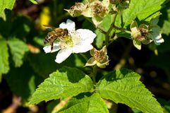 Detail on a bee pollinating a flower stock images