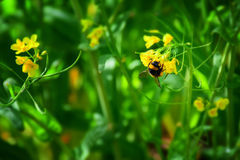 Detail of a bee in a yellow flowers field Stock Photo
