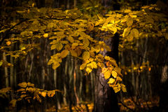 Detail of beech leaves in autumnal forest Stock Images
