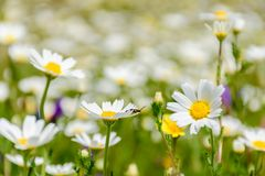 Field detail of daisies on a sunny spring day. Detail of beetle on a daisy. stock photo