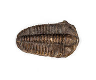 The Detail of Big Brown Isolated Trilobite Stock Images