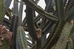 Detail of big echinopsis pachanoi stock photography
