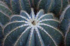 Detail of big echinocactus grusonii. Detail of big cactus - echinocactus grusonii in botanical garden royalty free stock images