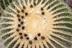 Detail of big echinocactus grusonii with flower. Detail of big cactus with flower - echinocactus grusonii in botanical garden stock images