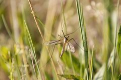 Detail of big mosquito Stock Photography