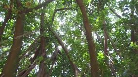 Detail of a big rubber tree in the famous Ibirapuera Park in Sao Paulo stock footage