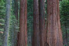 Detail of the big sequoia trees Stock Images