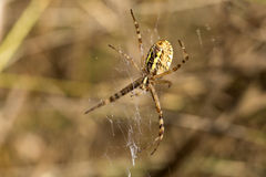 Detail of the big Spider on its Web Royalty Free Stock Photography