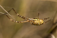 Detail of the big Spider on its Web Stock Photo
