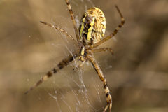 Detail of the big Spider on its Web Royalty Free Stock Photo