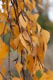 Detail of a birch branch royalty free stock image