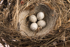 Detail of bird eggs in nest Stock Image
