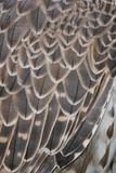 Detail of bird feathers Royalty Free Stock Photo