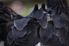 Detail bird feathers Stock Photography