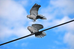 The detail of the birds on the wire , pigeon Royalty Free Stock Image