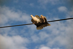 The detail of the birds on the wire , pigeon Stock Photos