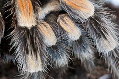 Detail of a black and brown tarantula Stock Images