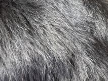 Detail of the black coat of the dog.  It is shiny and healthy.  The sun reflects on his hair. Detail black coat dog shiny healthy sun reflects his hair royalty free stock photos