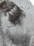 Detail of the black coat of the dog.  It is shiny and healthy.  The sun reflects on his hair. Detail black coat dog shiny healthy sun reflects his hair stock photography