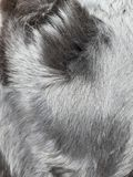 Detail of the black coat of the dog.  It is shiny and healthy.  The sun reflects on his hair. Detail black coat dog shiny healthy sun reflects his hair stock photos
