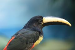 Black-necked aracari detail. The detail of black-necked aracari Royalty Free Stock Image