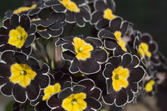 Detail of black Primrose Royalty Free Stock Photos