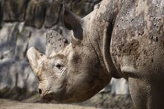 Detail of black rhino Royalty Free Stock Images