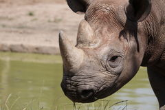 Detail of black rhinoceros Stock Image