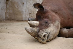 Detail Of Black Rhinoceros Lying On The Ground Stock Photography