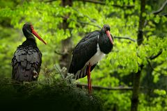 Detail of black stork. Wildlife scene from nature. Bird Black Stork with red bill, Ciconia nigra, sitting on the nest in the stock photo