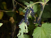 Detail of a black worms on a nettle leaves Stock Photo