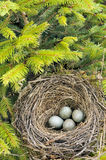 Detail of blackbird eggs in nest Royalty Free Stock Photo