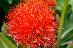 Detail of the blood lily Stock Photos