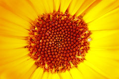 Detail Of The Bloom Of Marigold Royalty Free Stock Image