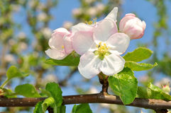 Detail blooming apple tree branch Royalty Free Stock Images