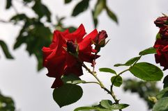 Roses from the garden. Detail of blooming beautiful roses in the garden over blurry background Royalty Free Stock Image