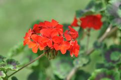 Geranium royalty free stock photography