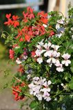 Geraniums. Detail of blooming colourful Geraniums Stock Photography
