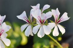 Geraniums. Detail of blooming colourful Geraniums Royalty Free Stock Image