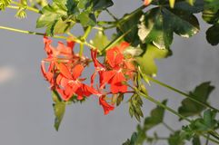 Geraniums. Detail of blooming colourful Geraniums Royalty Free Stock Photos