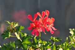 Geraniums. Detail of blooming colourful Geraniums Stock Image