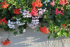 Geraniums. Detail of blooming colourful Geraniums Stock Photo